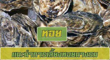 แนะนำการเลี้ยงหอยนางรมแบบง่ายๆทำตามได้